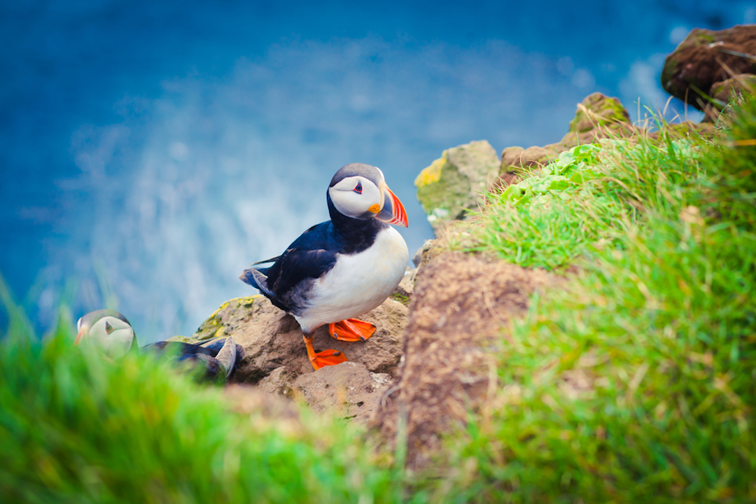Puffin_Colony_Green_List_iceland_Cruise_Blondes